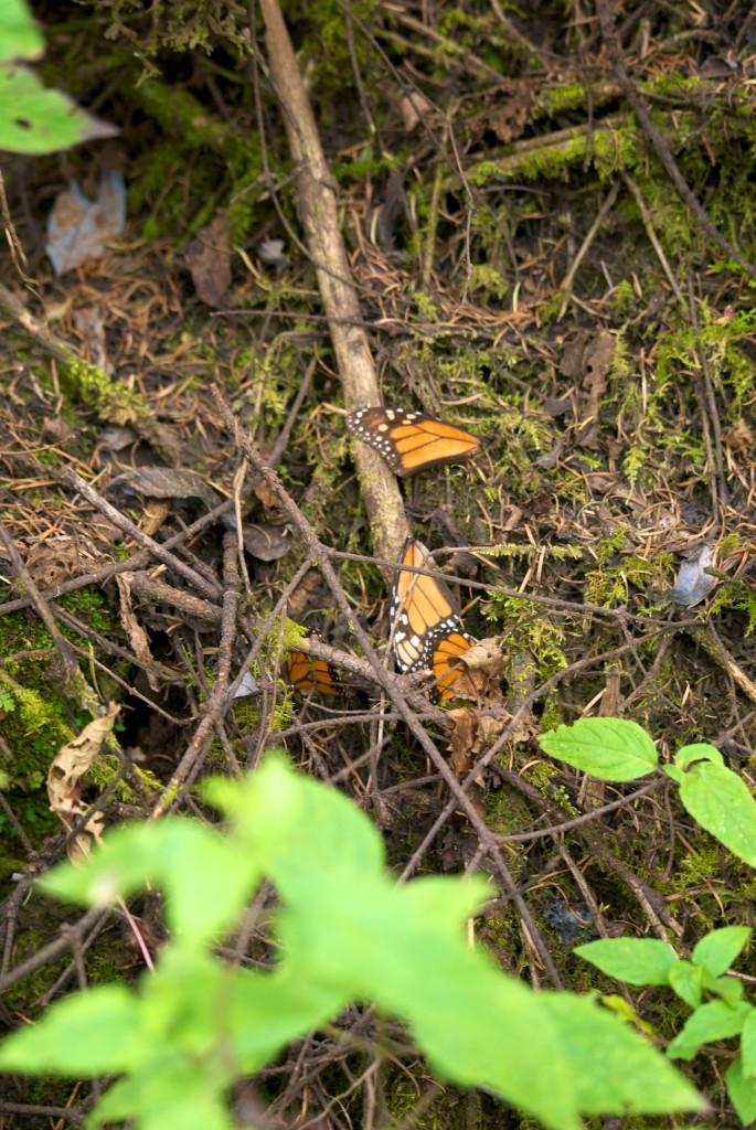 monarchs5