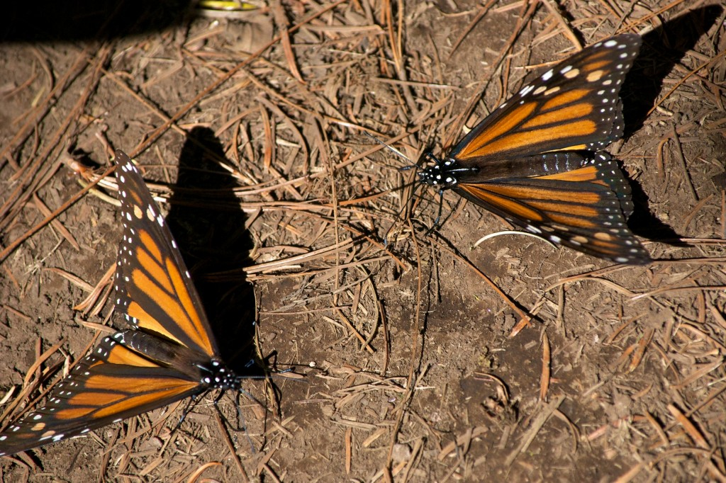 monarchs50