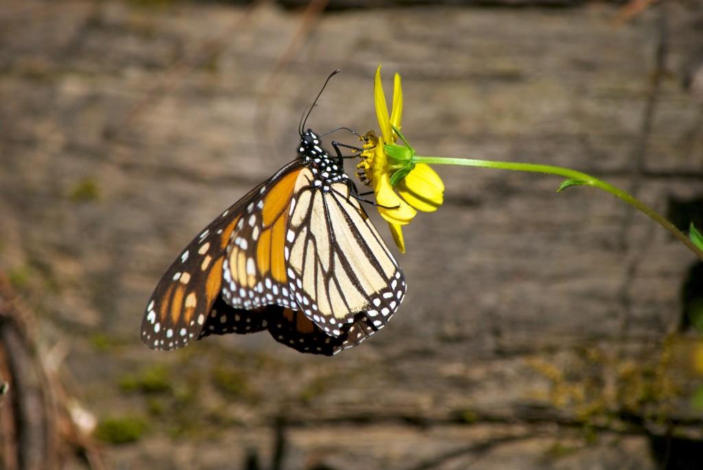 monarchs51