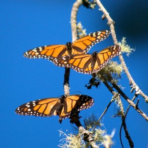 Monarchs: the rest of the story