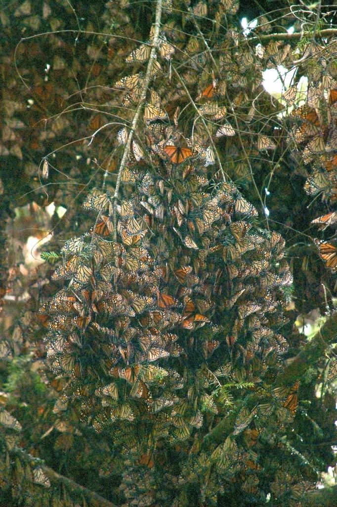 monarchs64