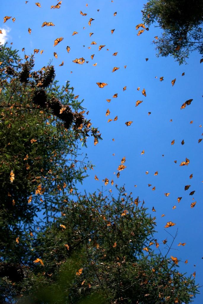 monarchs67