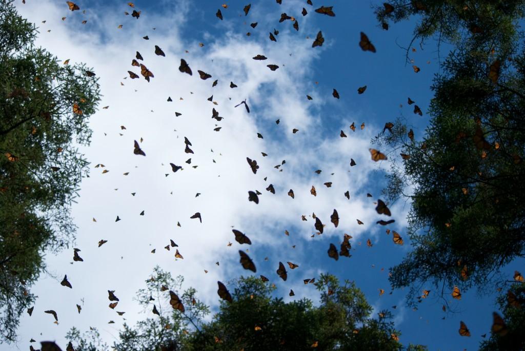 monarchs68