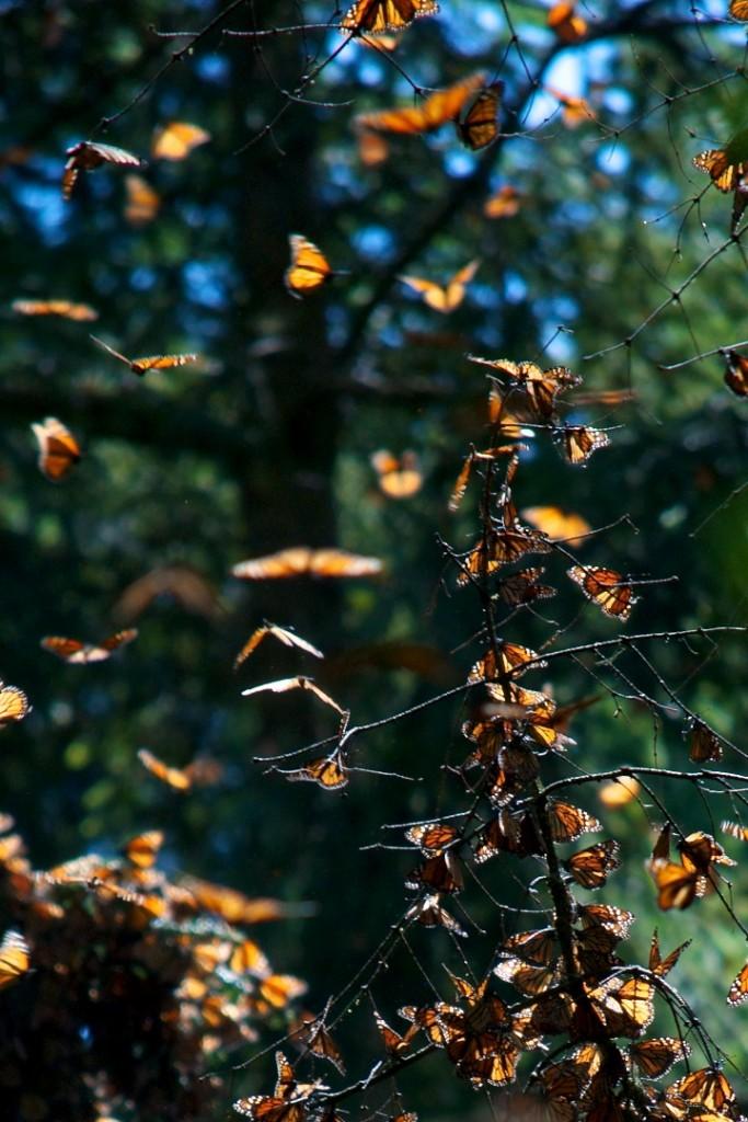 monarchs70