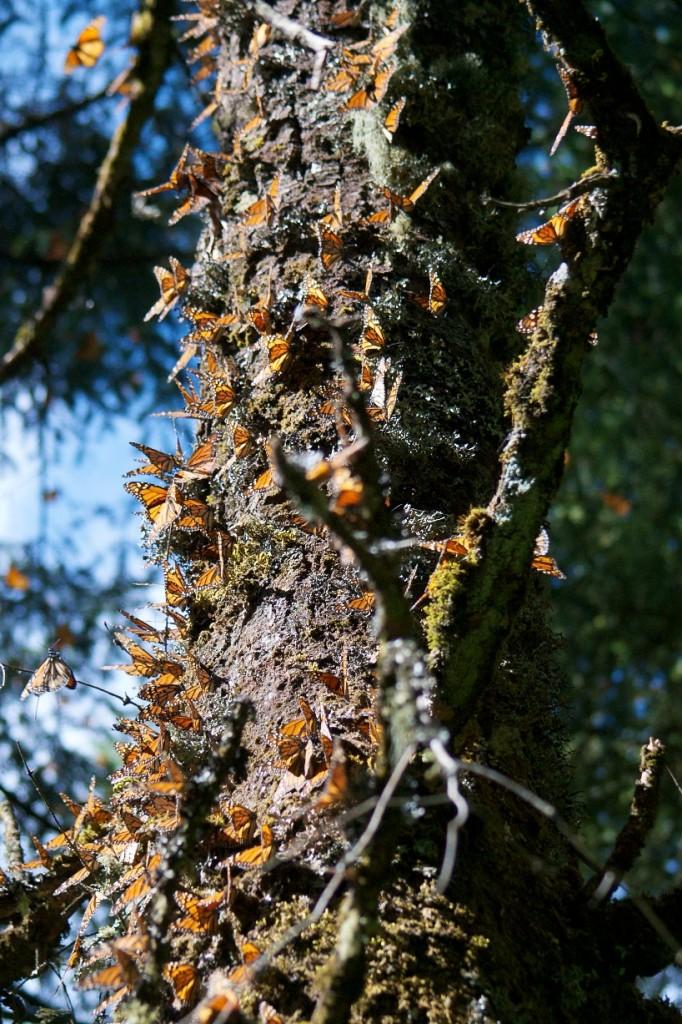 monarchs71