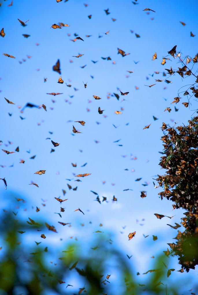 monarchs79