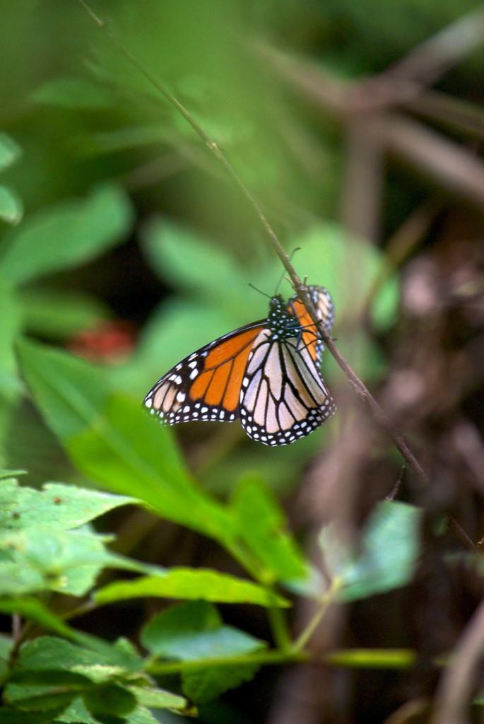 monarchs9