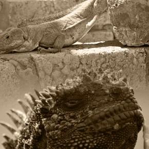 Iguana War 2012, Round 2