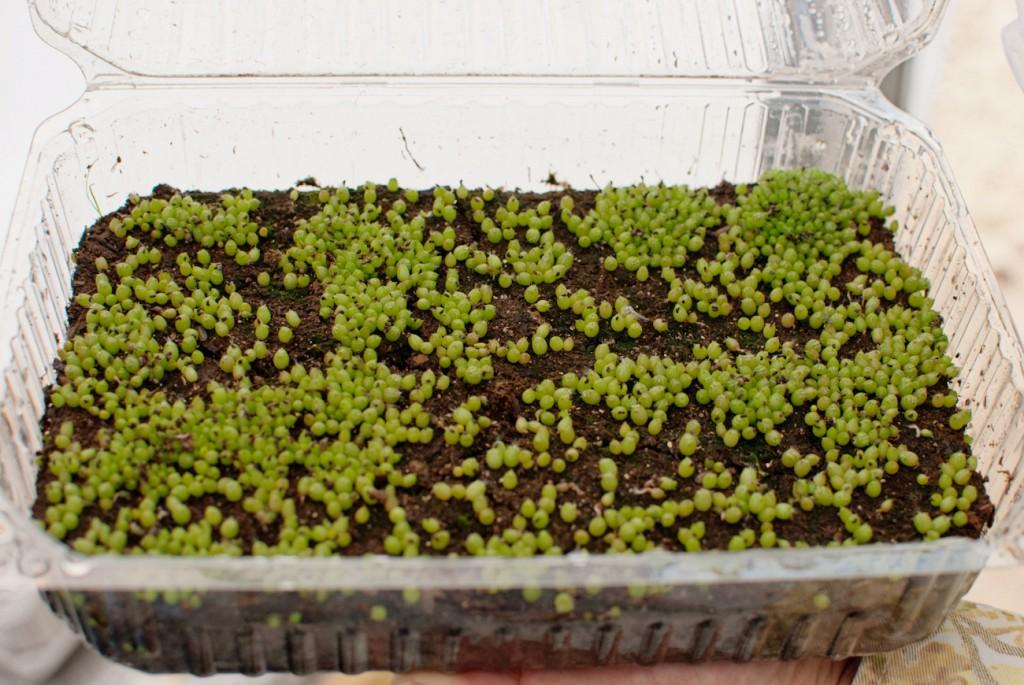 2012Apr-plantamadre-4