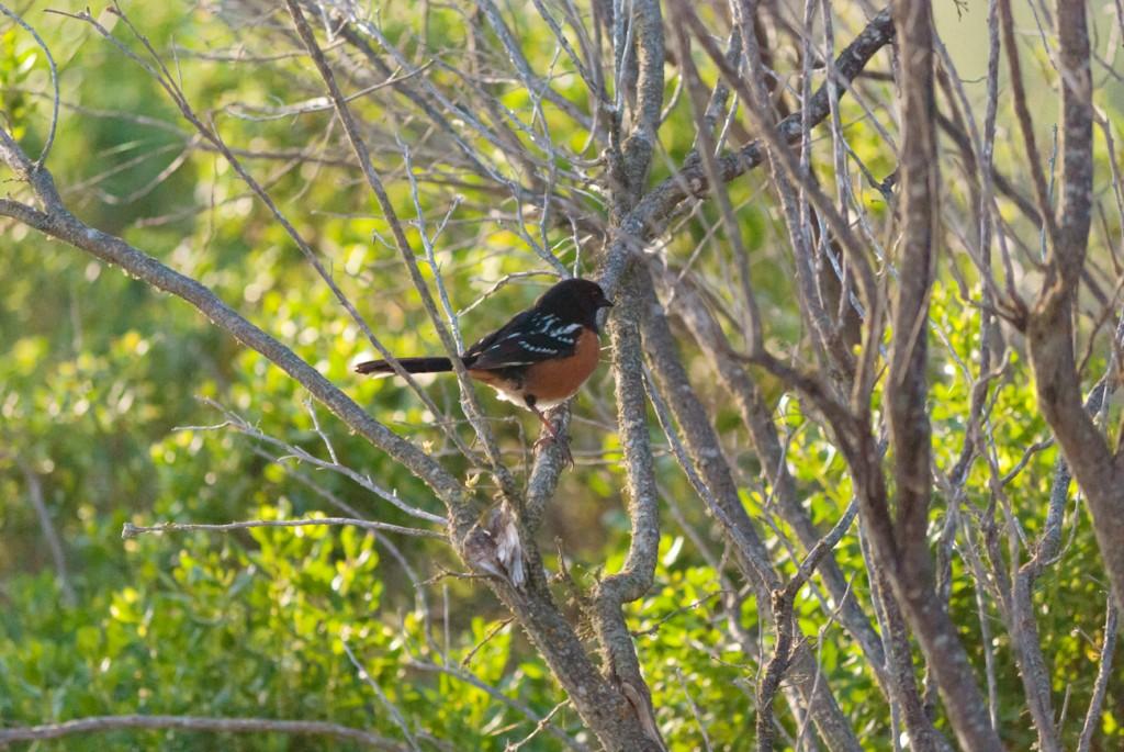california-birds-22