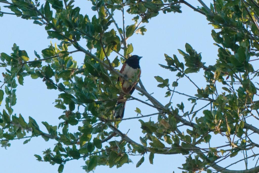 california-birds-30