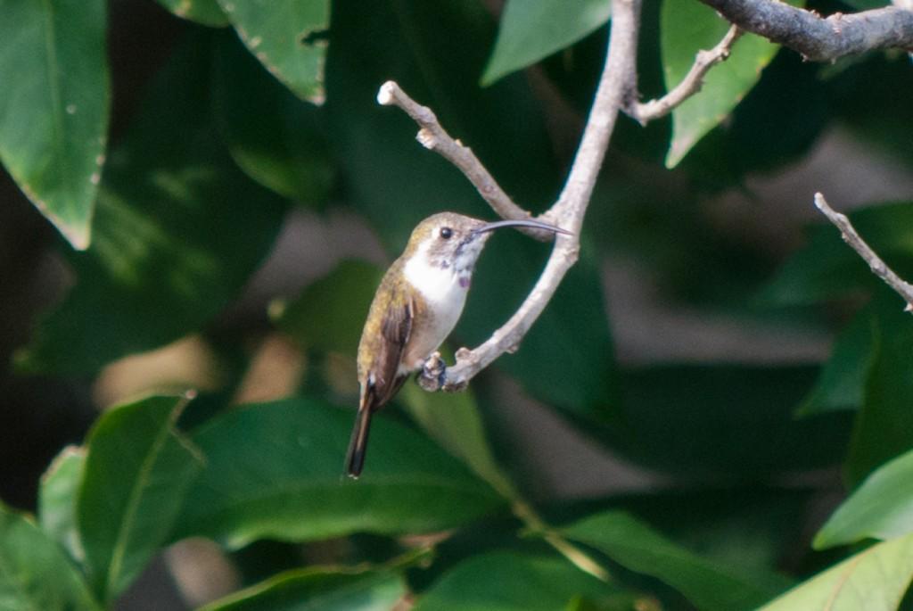 Chichicaxtle-hummingbird2-2