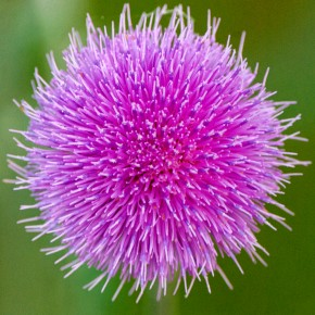 A plumed thistle for your thoughts?